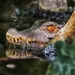 crocodile-681273_1920